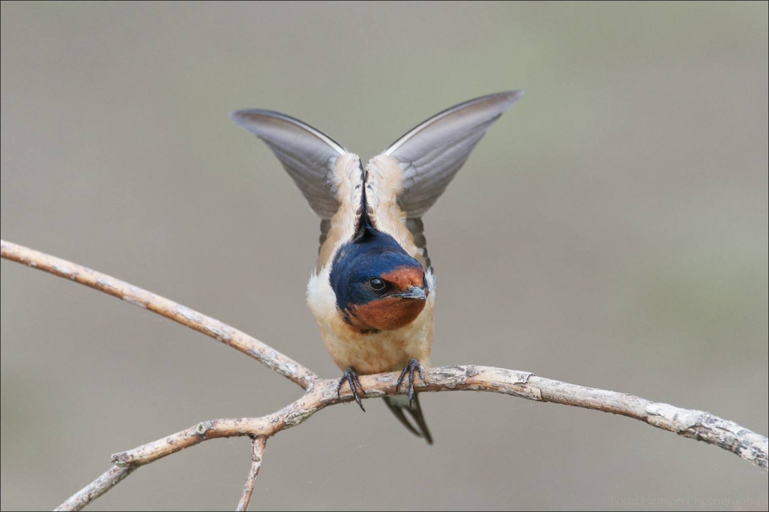 Barn Swallow stretching its wings