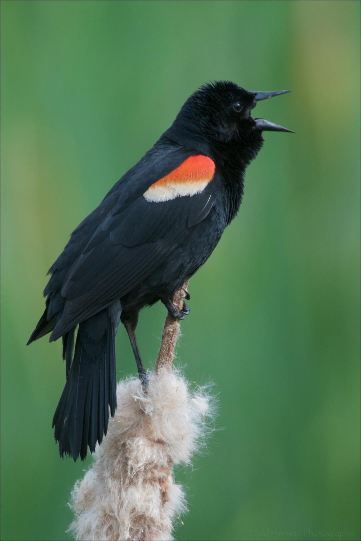 Singing Red-winged Blackbird (male)