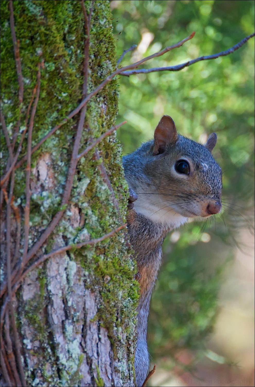 Eastern Gray Squirrel peering around tree
