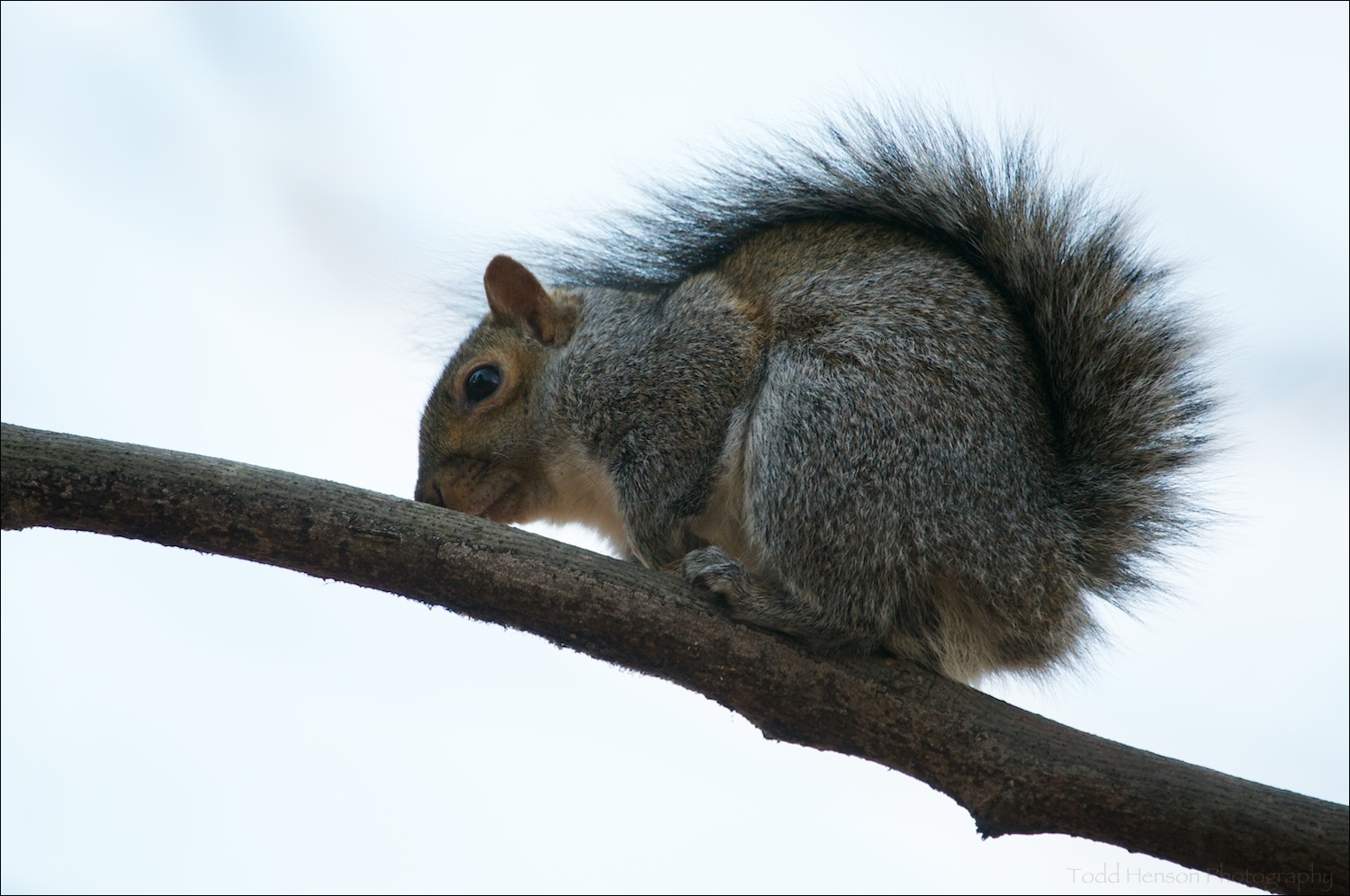 Eastern Gray Squirrel sitting on branch with tail curled over back