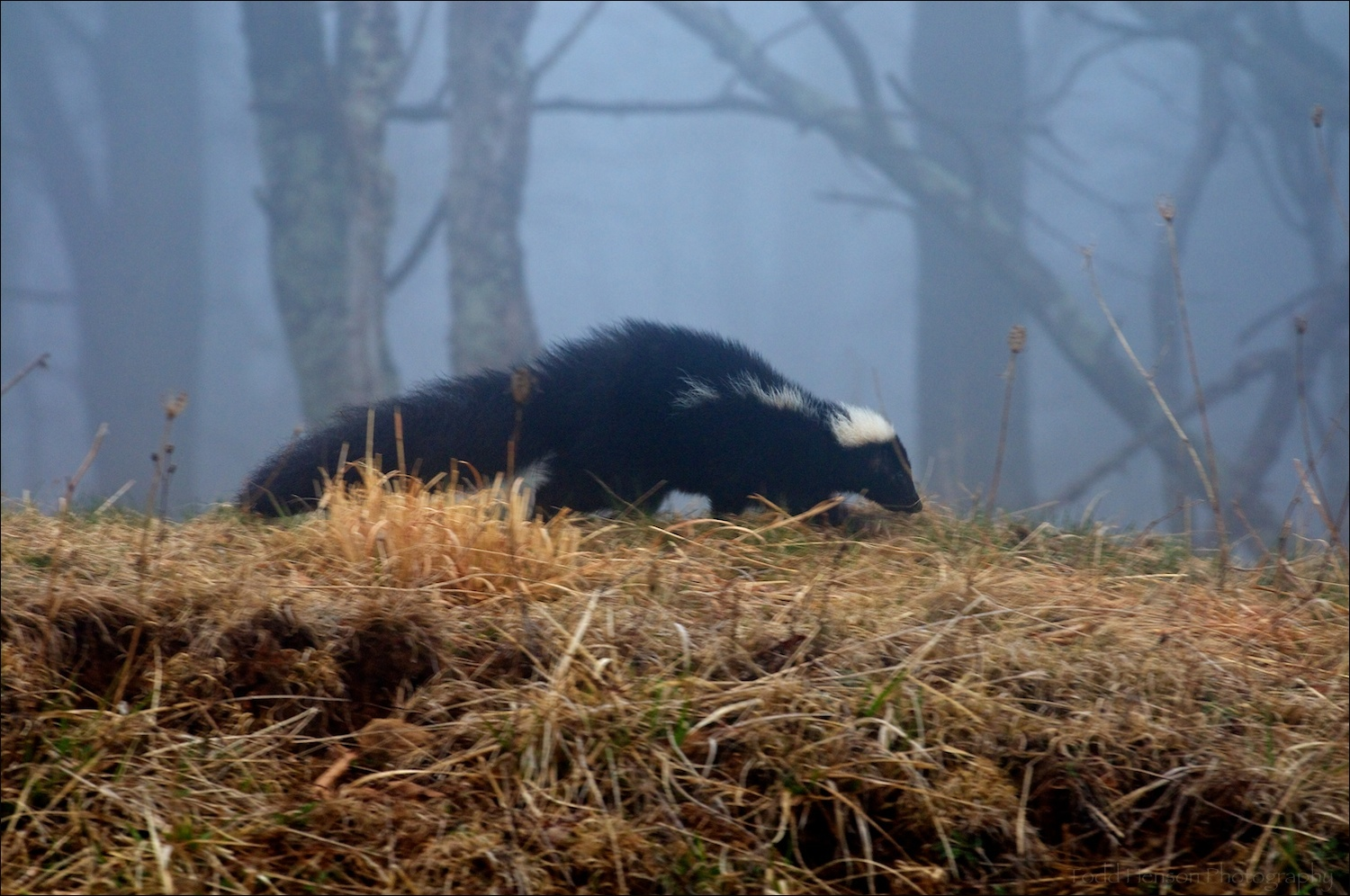 Low quality image of a Striped Skunk walking along top of ridge beside road in very dense fog