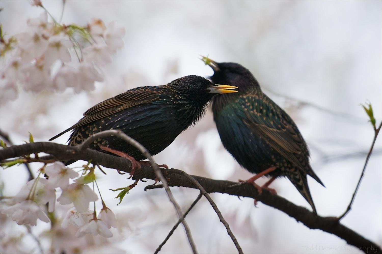 Breeding pair of European Starling amongst cherry blossoms