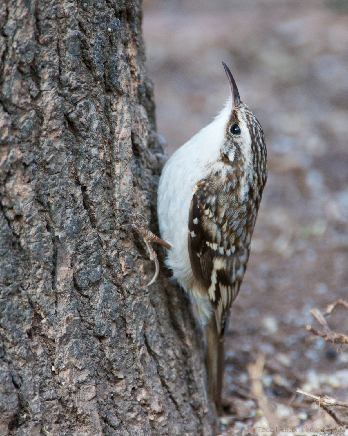Brown Creeper seen from the side. The white underside makes it easier to see. Notice the curved bill.