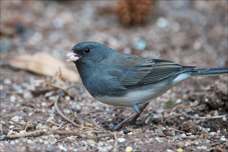 """Slate-colored"" variety of Dark-eyed Junco feeding under a bird feeder."