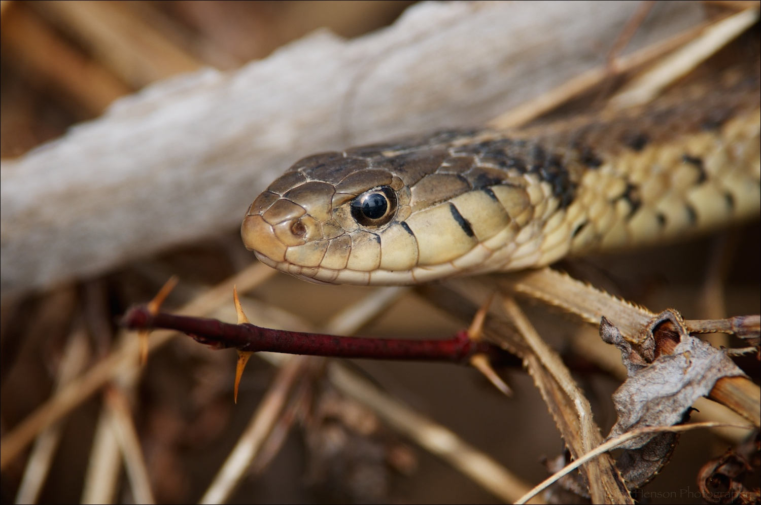 Closeup of head of Eastern Gartersnake.