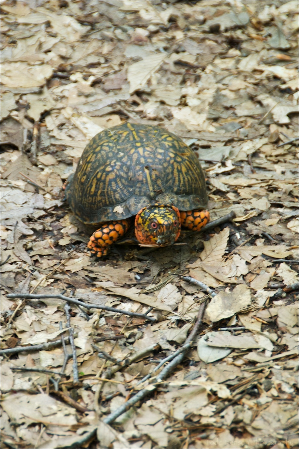 Slightly blurry photo of an Eastern Box Turtle on a trail in the woods.
