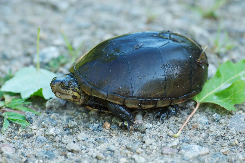 Eastern Mud Turtle on trail.
