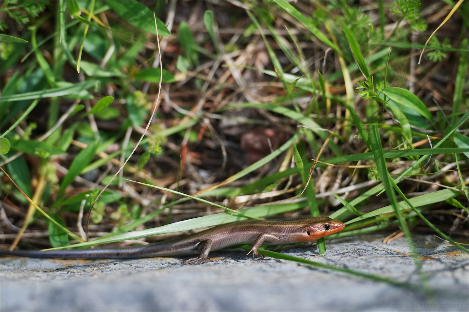 Common Five-lined Skink