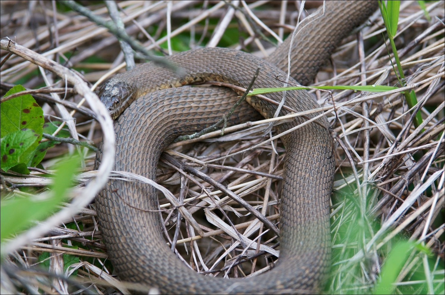 Partially obscured Northern Watersnake.