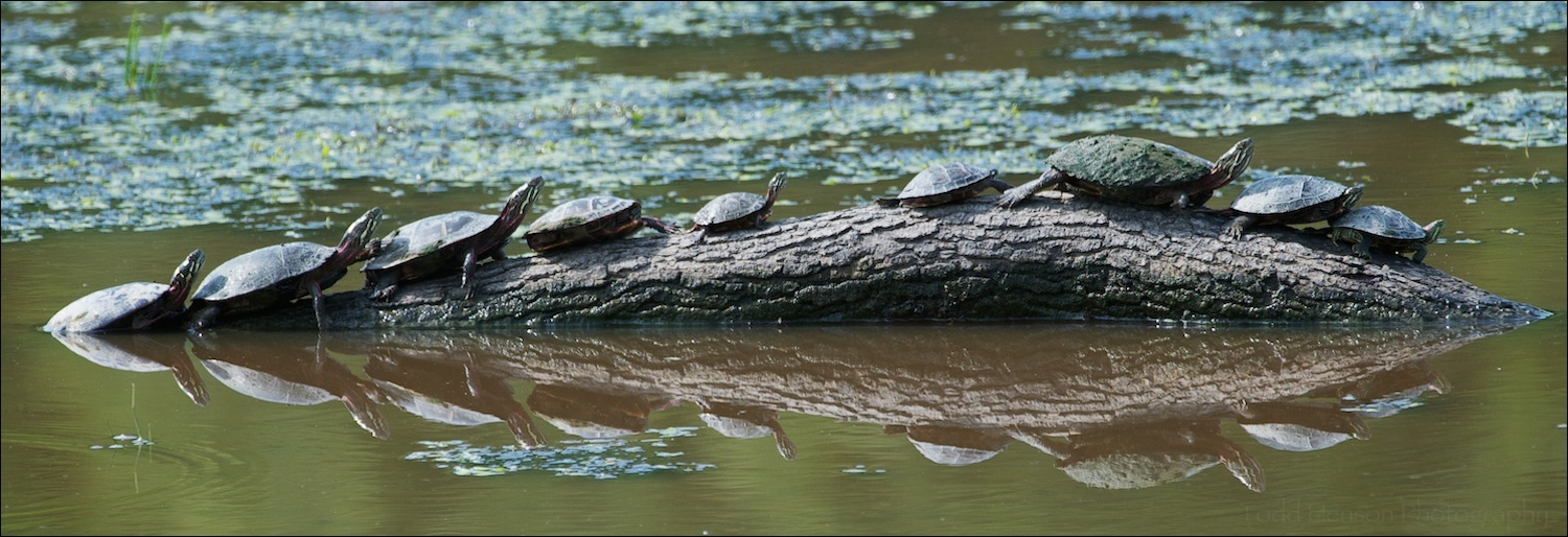 Group of Eastern Painted Turtles sunning themselves on a partially submerged branch.