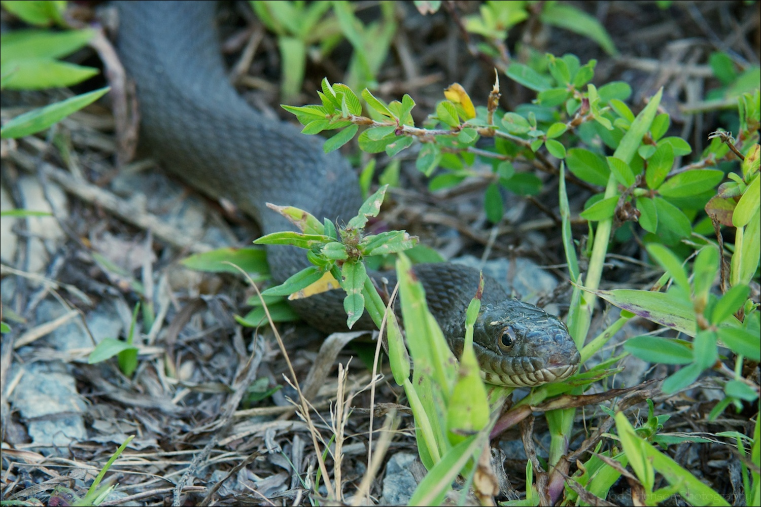 Northern Watersnake on trail just off wetlands.