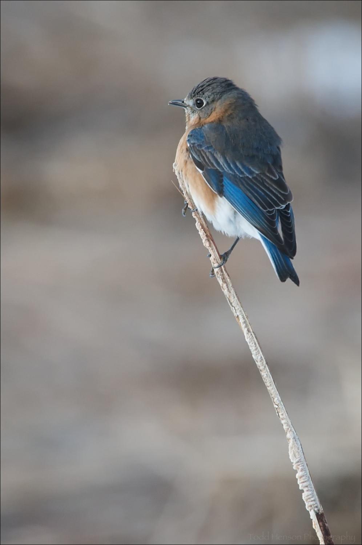 Female Eastern Bluebird perched in field