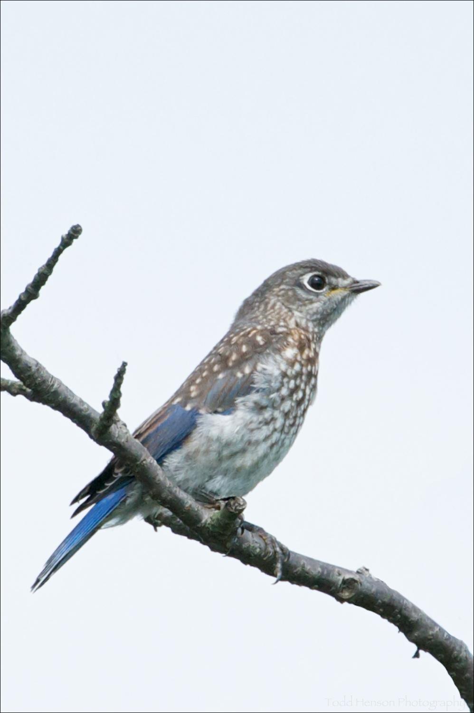 Juvenile Eastern Bluebird in tree