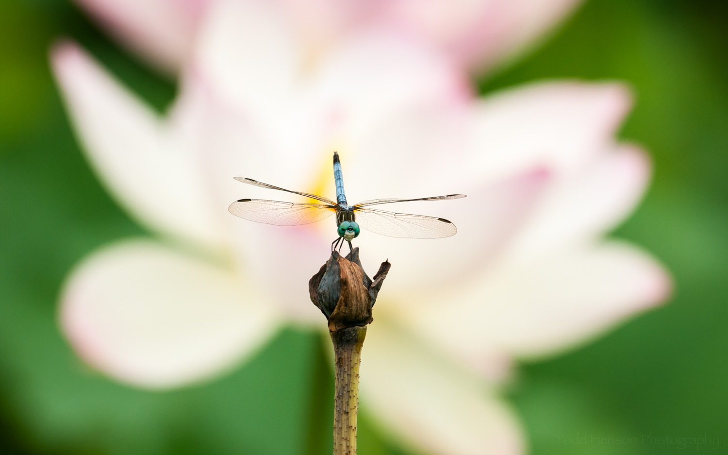 Dragonfly with lotus blossom in the background