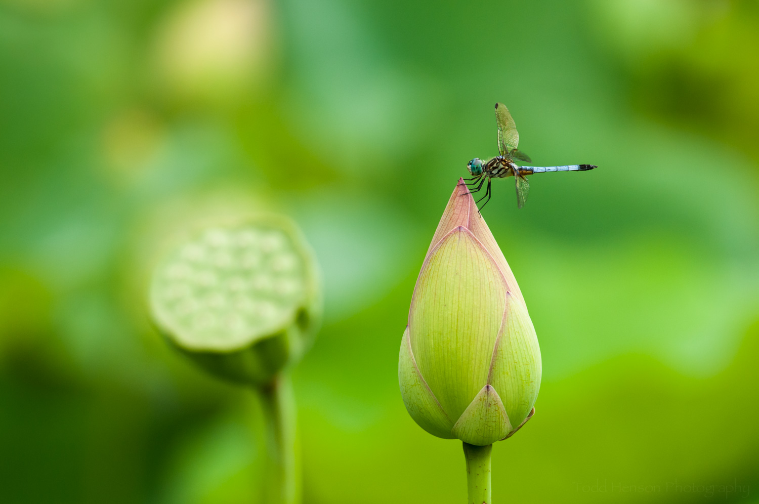 Dragonfly on unopened lotus bloom, with seed pod in the background