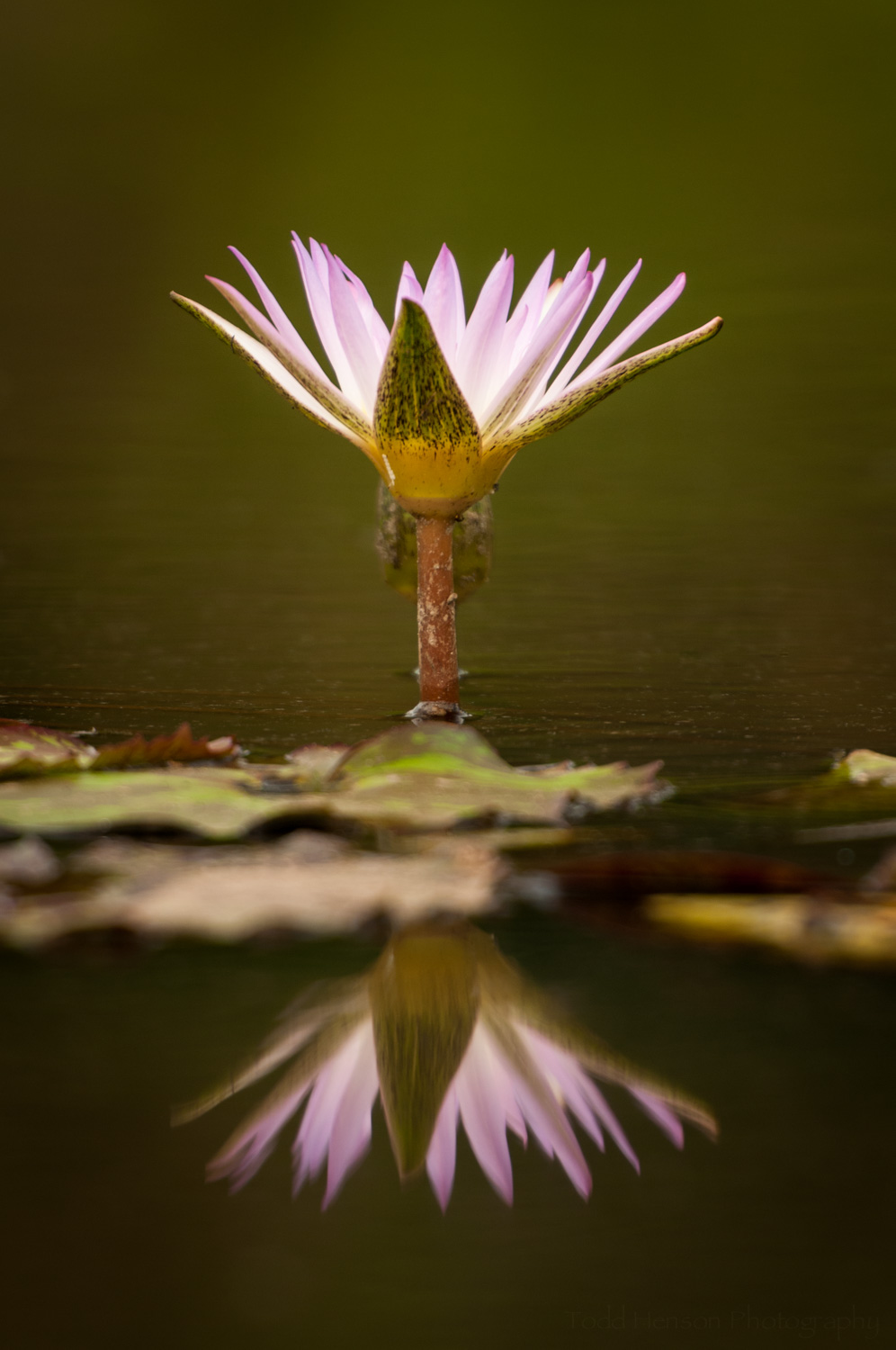 Partially open water lily