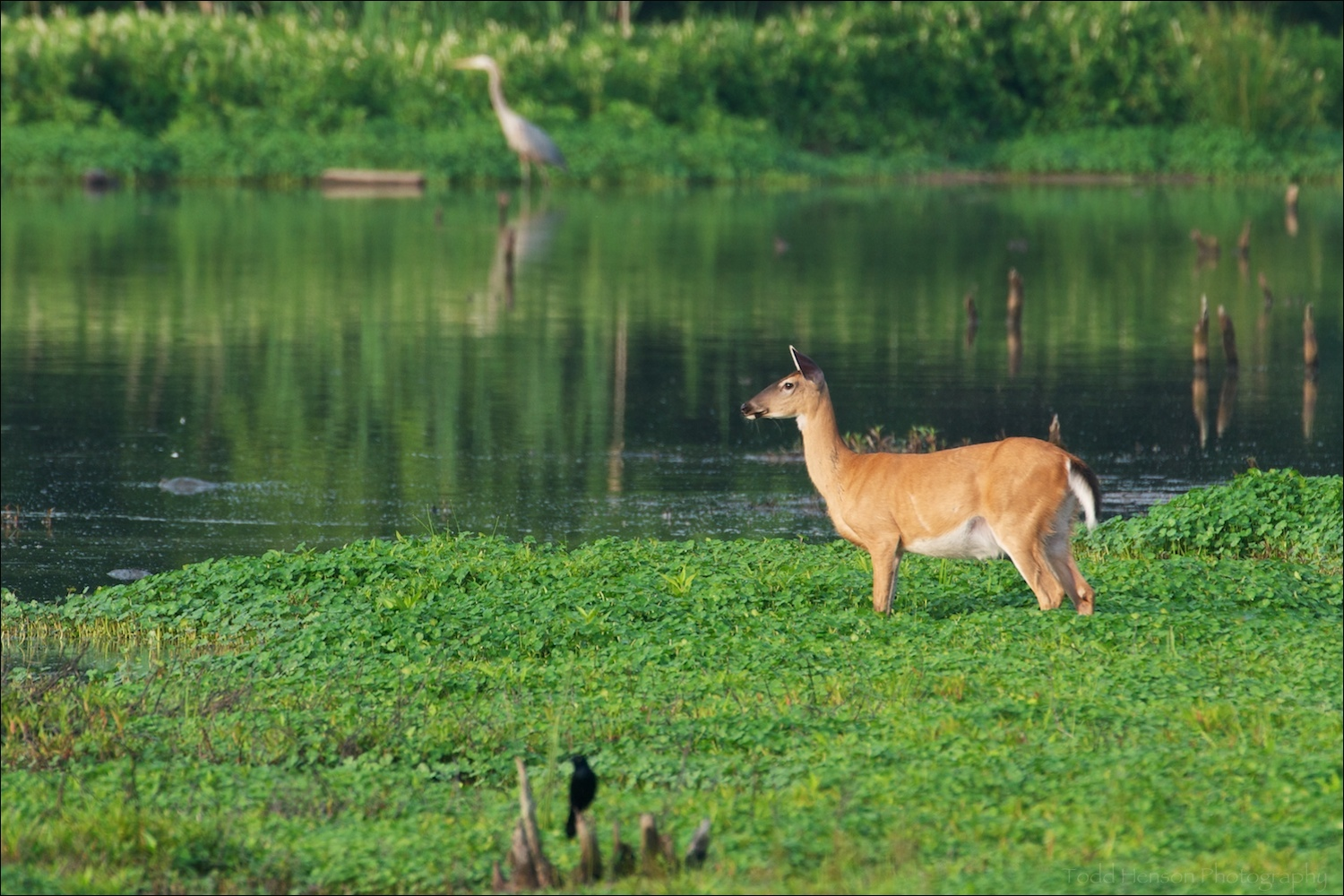 White-tailed deer at edge of wetlands, with black bird in foreground and great blue heron in background
