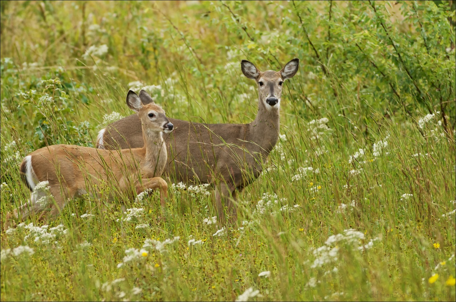 Pair of white-tailed deer in field. They came very close before they noticed me.