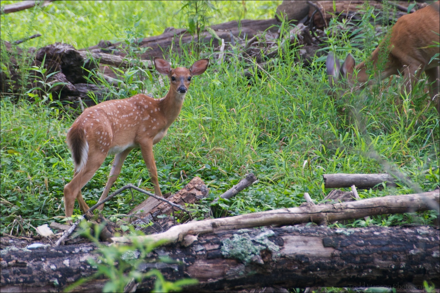 Young spotted fawn with mother to the side