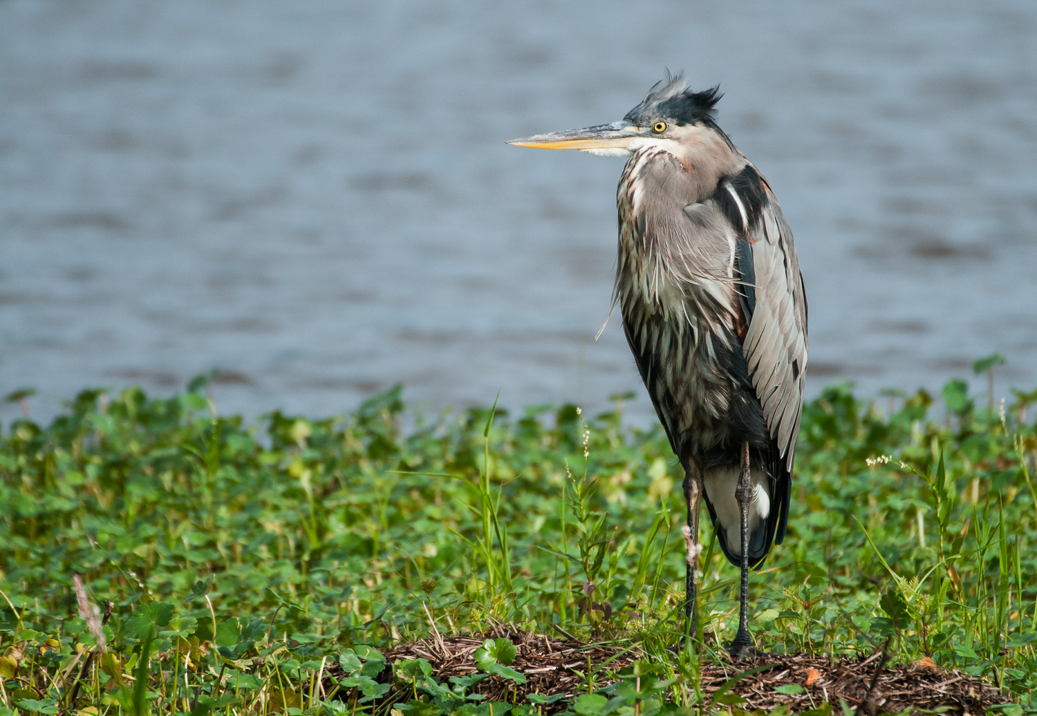 Wind beginning to raise the feathers on the head of a Great Blue Heron