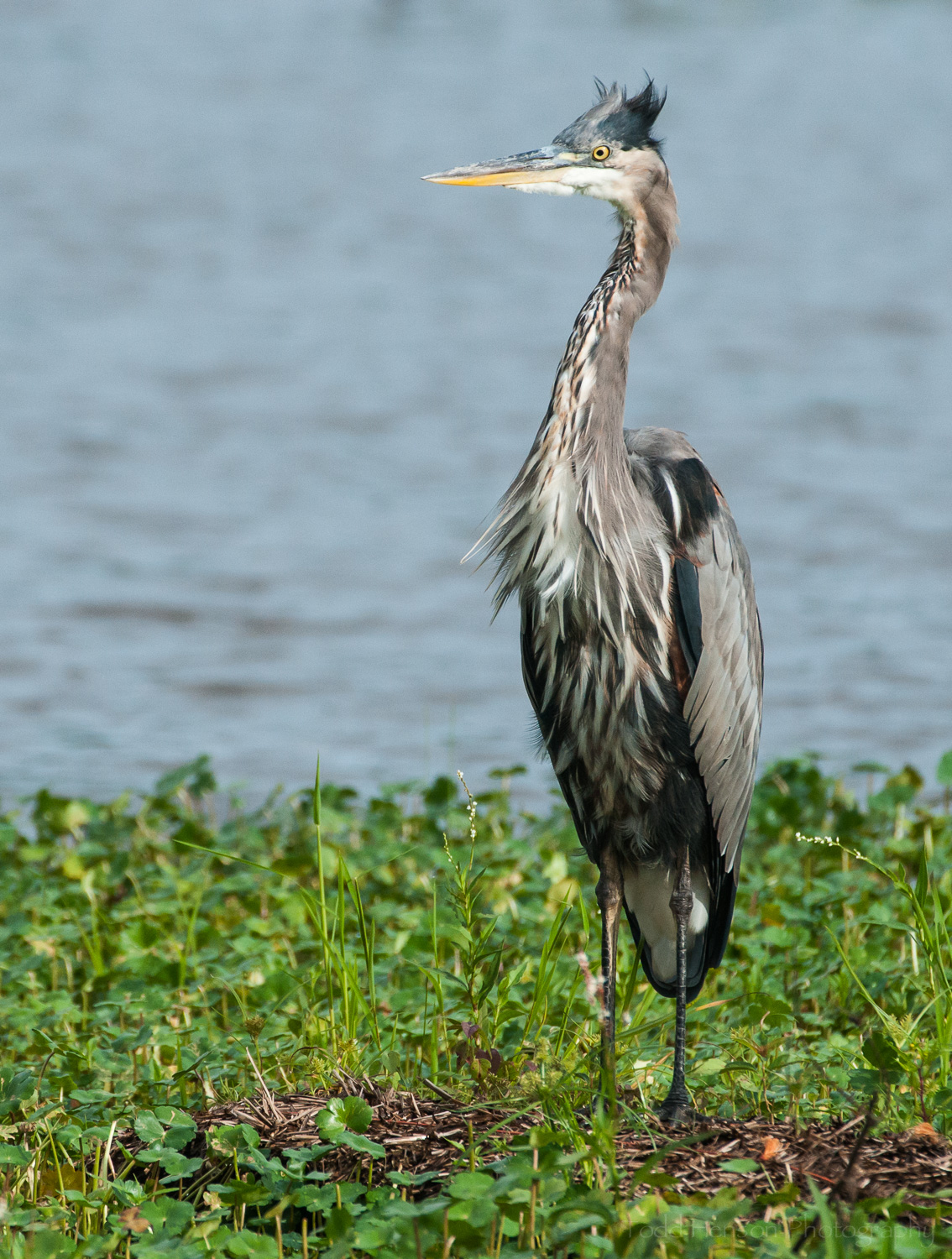 Great Blue Heron raising its head in the wind