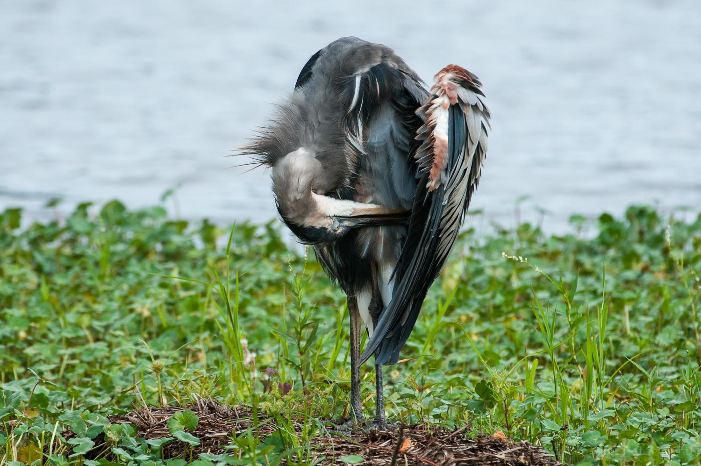Preening Great Blue Heron