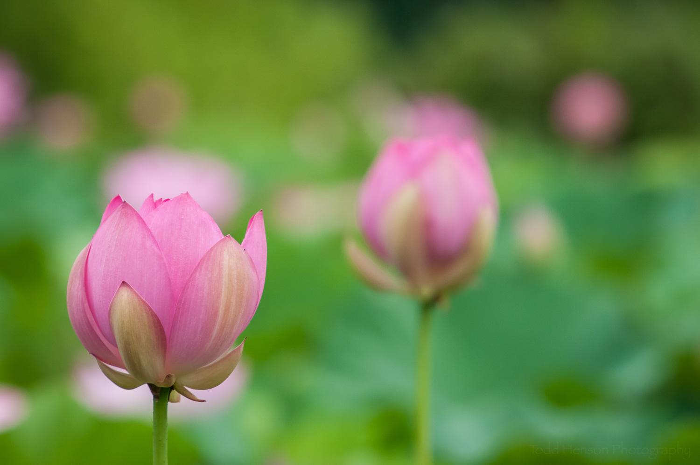 Dark pink lotus blossoms just opening