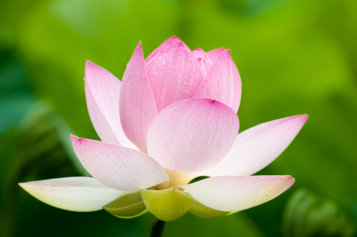 Opening lotus blossom covered in rain drops