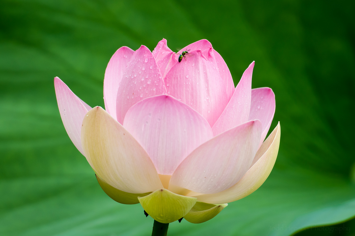 Small green insect on lotus blossom
