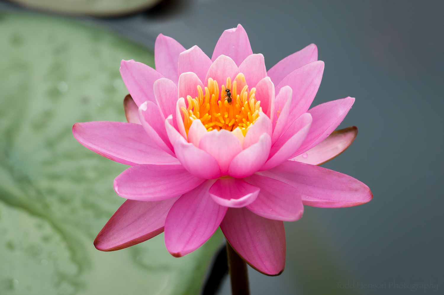 Pink water lily and a small insect