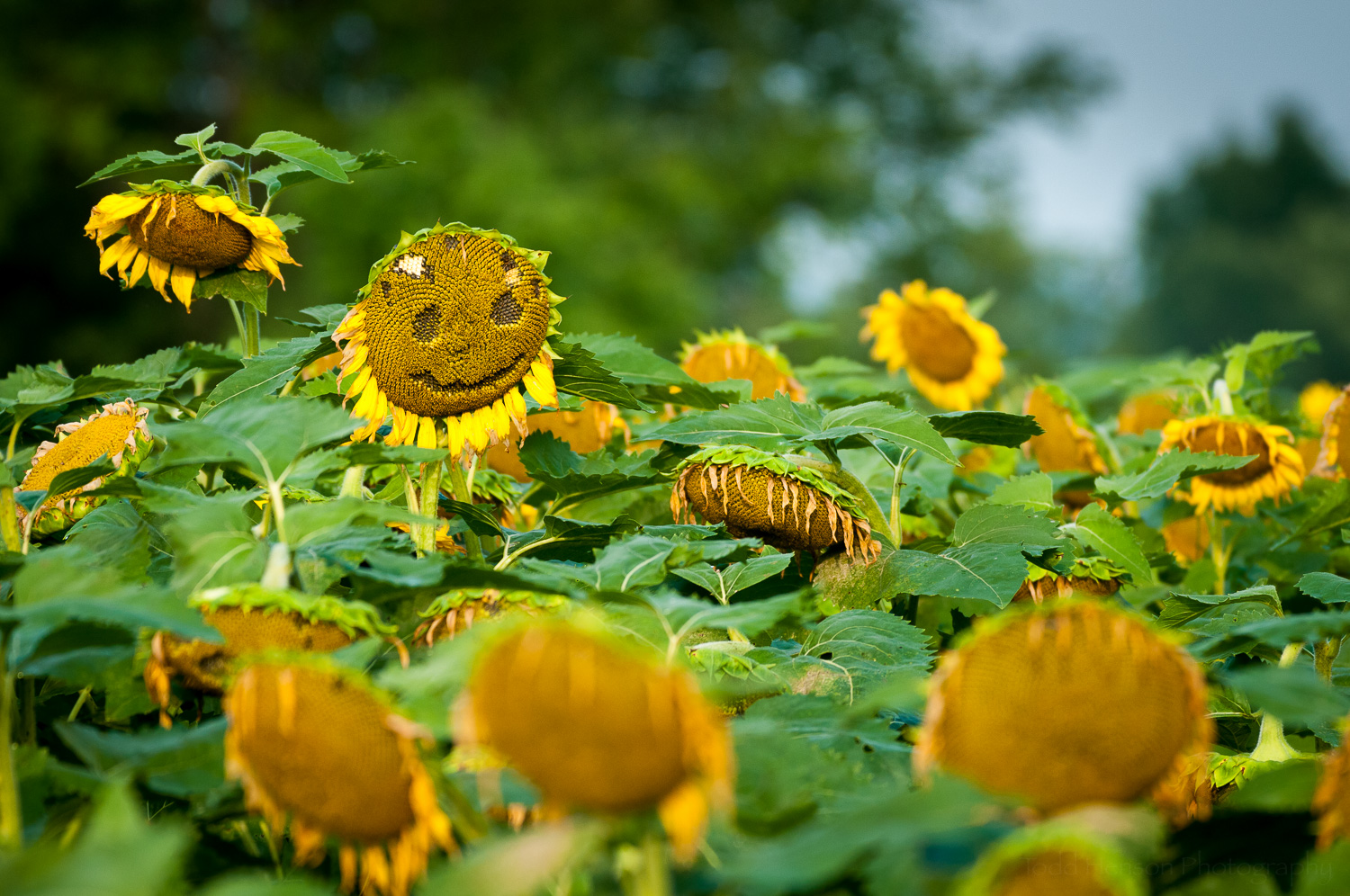 There's always something to smile about, even when surrounded by a field of drooping sunflowers.