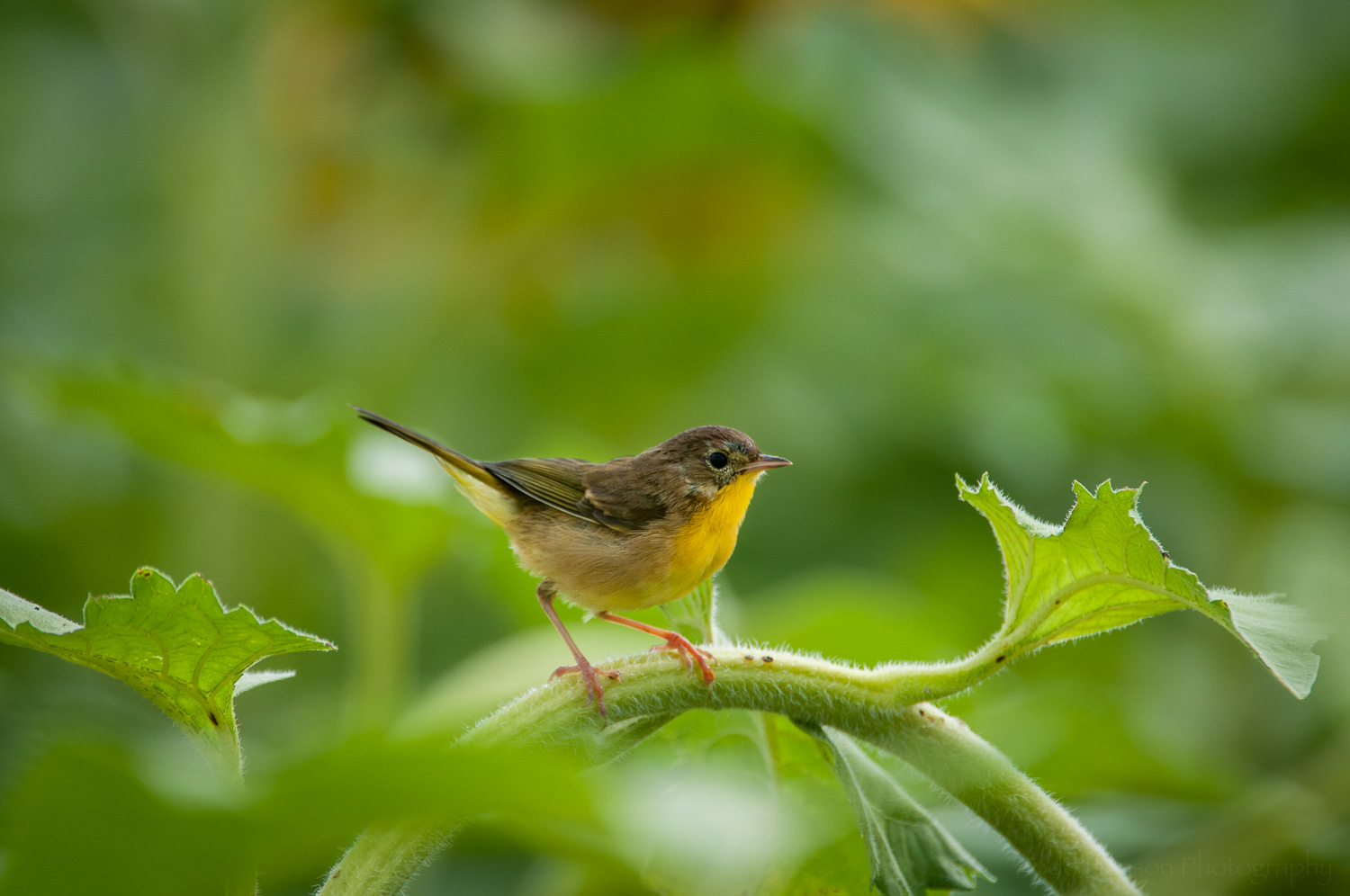 A Common Yellowthroat Warbler