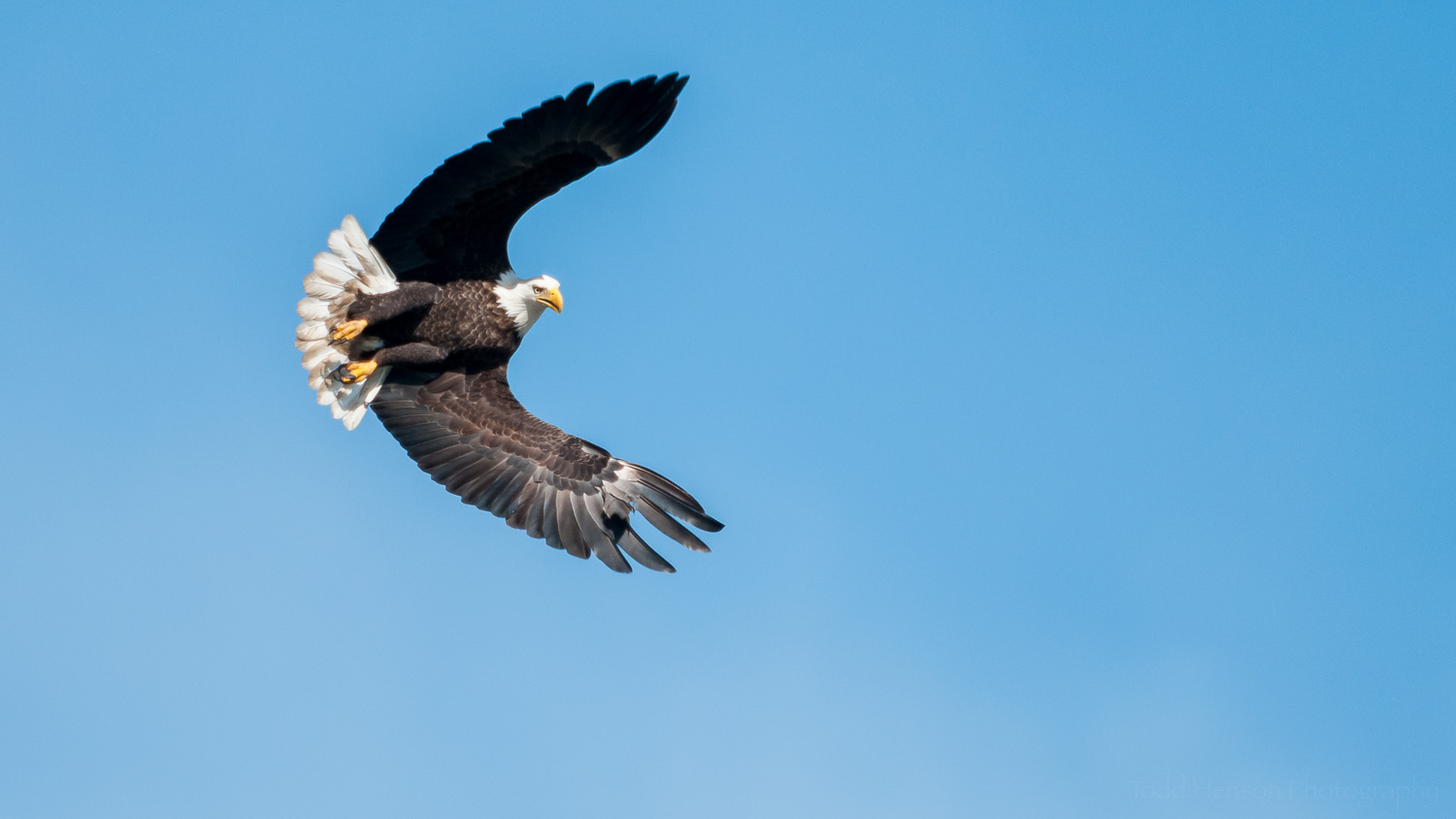 Bald Eagle  at an interesting angle as it scans the river below