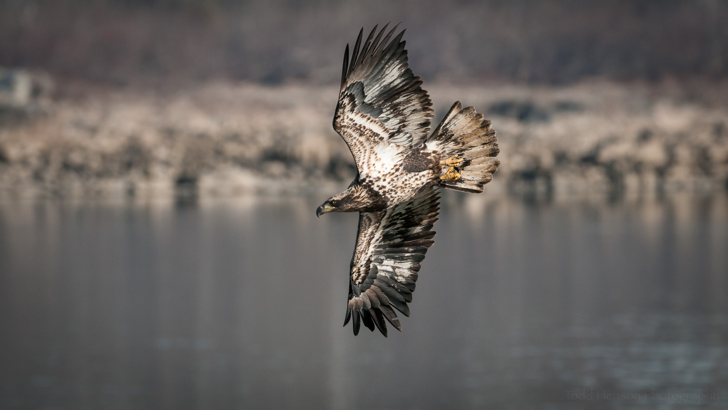 Juvenile  Bald Eagle  angling down towards a fish in the river