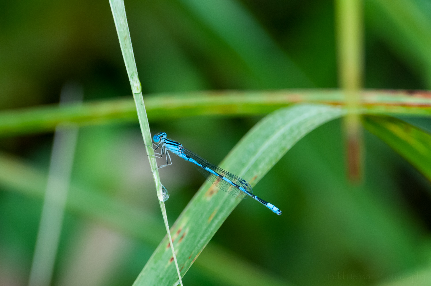 Familiar Bluet Damselfly against distracting background