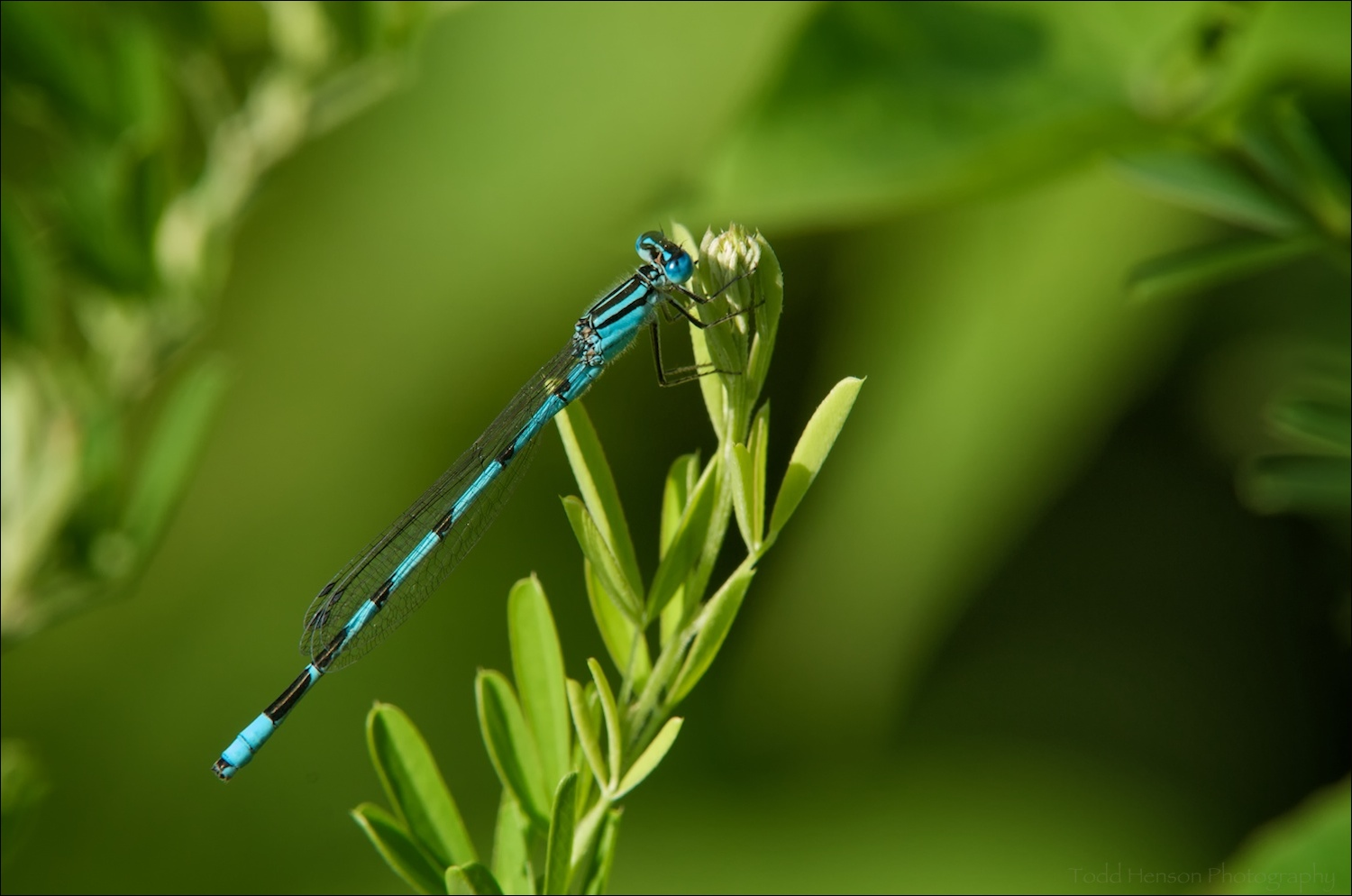 Final image of Familiar Bluet Damselfly.