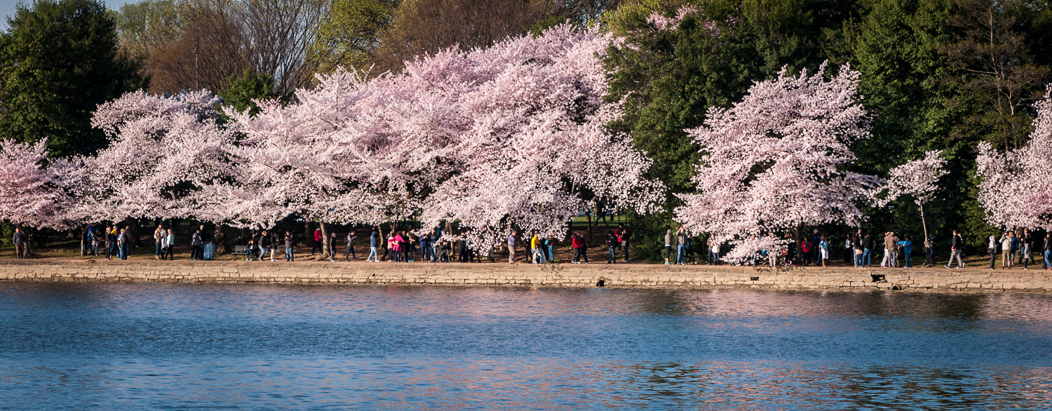 Cherry trees along the tidal basin in Washington, D.C.