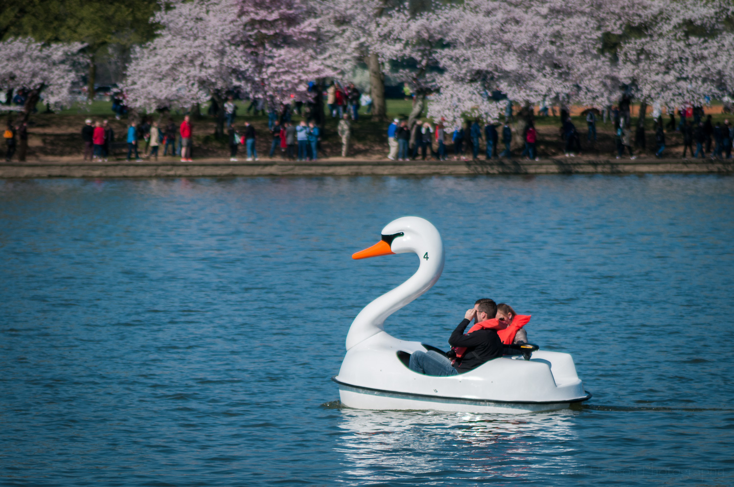 Swan boat in the tidal basin, Washington, D.C., cherry blossoms in the background