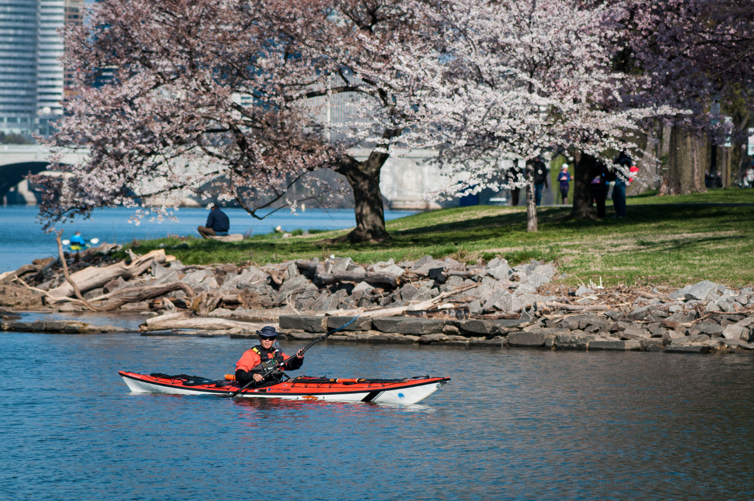 Kayaker, and photographer, in Potomac River just outside tidal basin, cherry tree in the background.