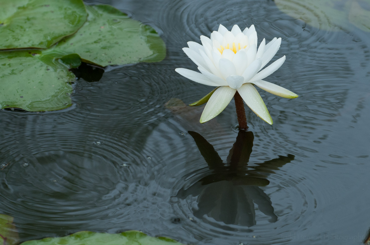 White Water Lily with ripples in pond