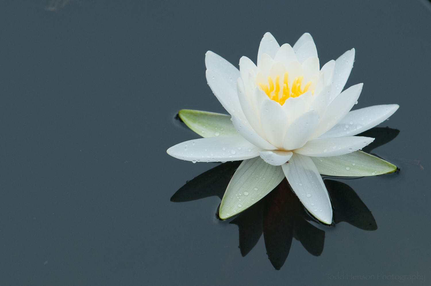 White Water Lily. This is the composition I was looking for.
