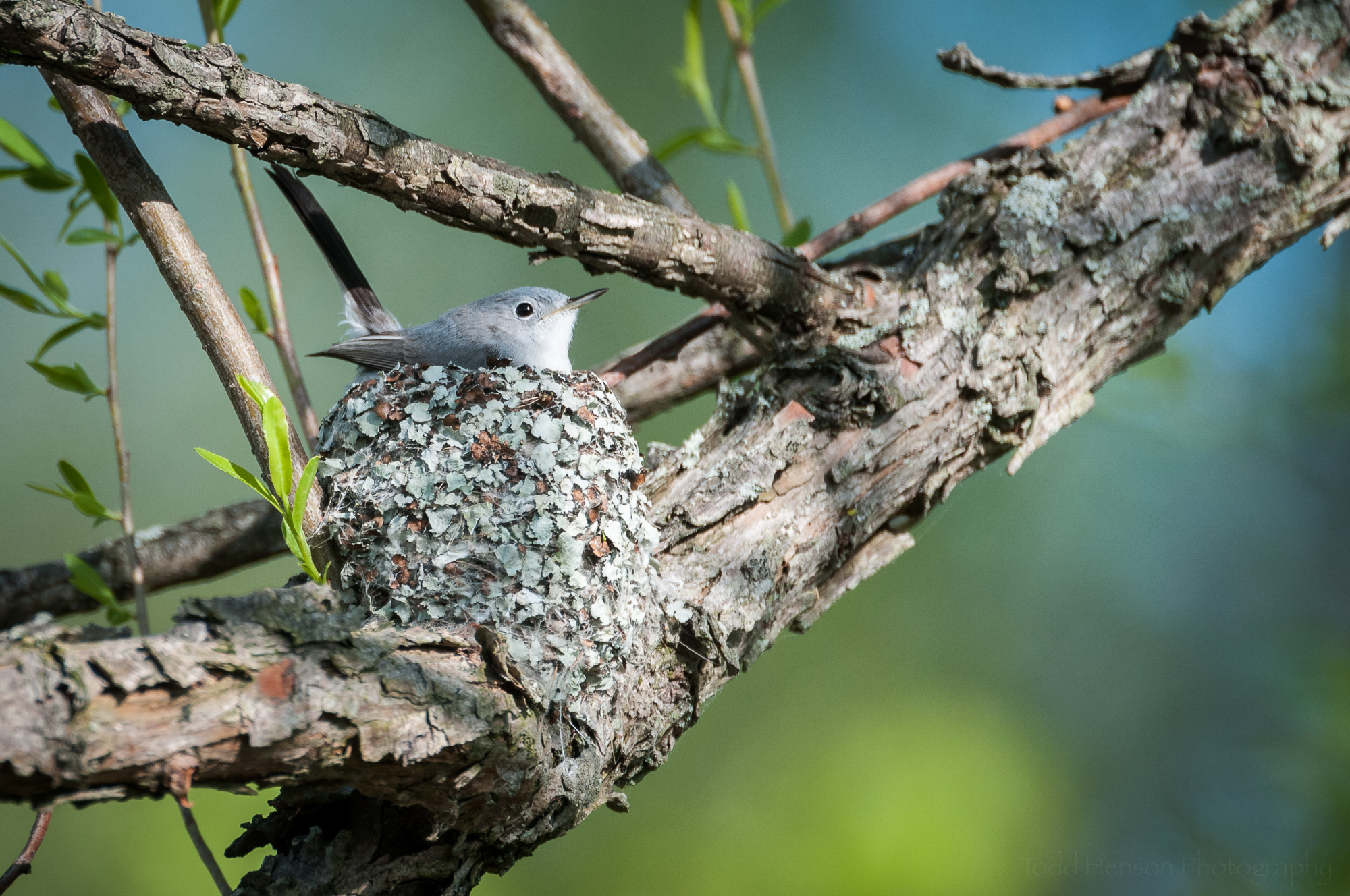 Blue-gray Gnatcatcher building a nest. Keep a respectful distance when photographing or observing nesting behavior. Don't stay at the site very long. Don't disturb anything.