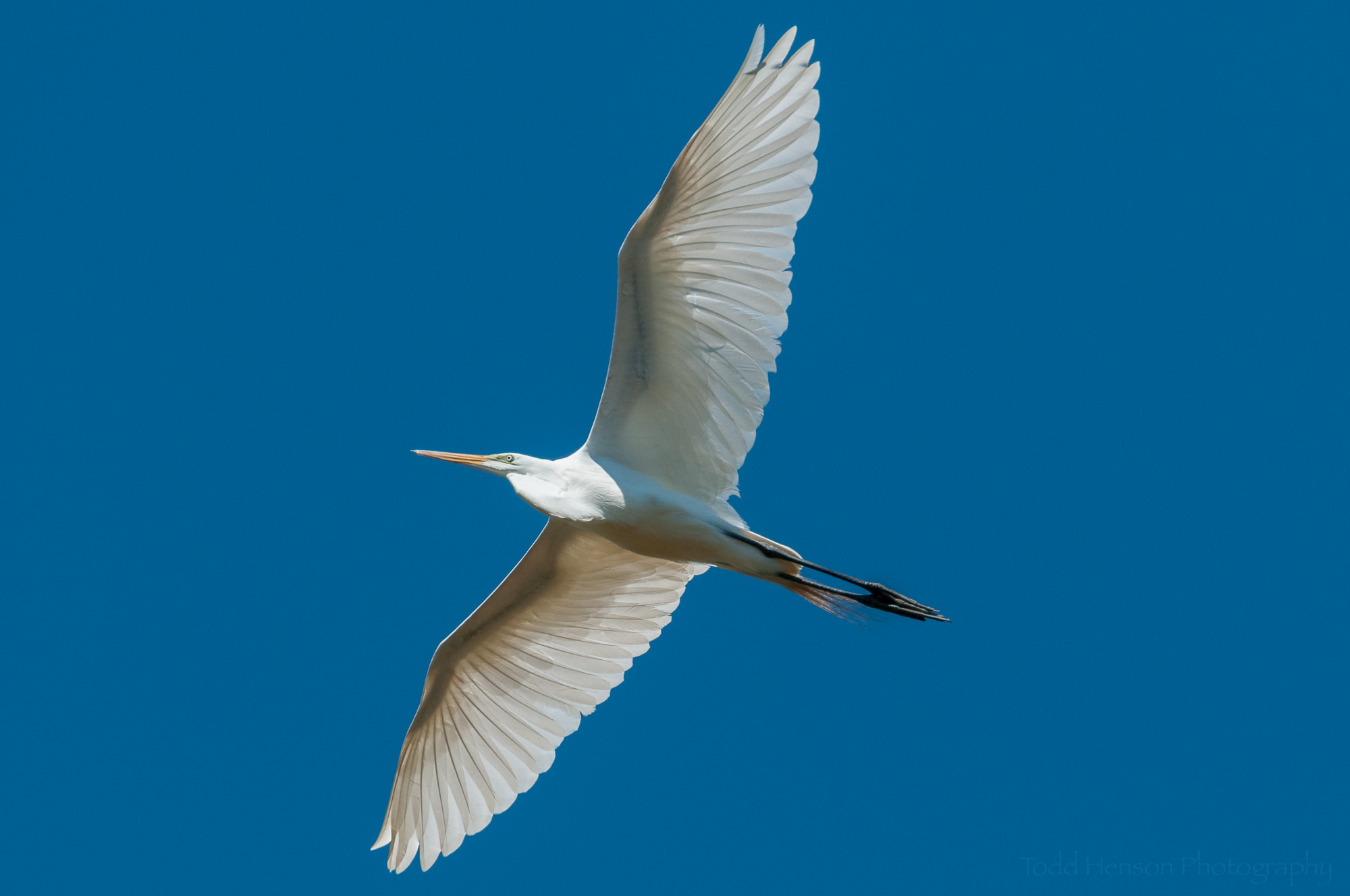 Great Egret in flight, overhead, against clear blue sky