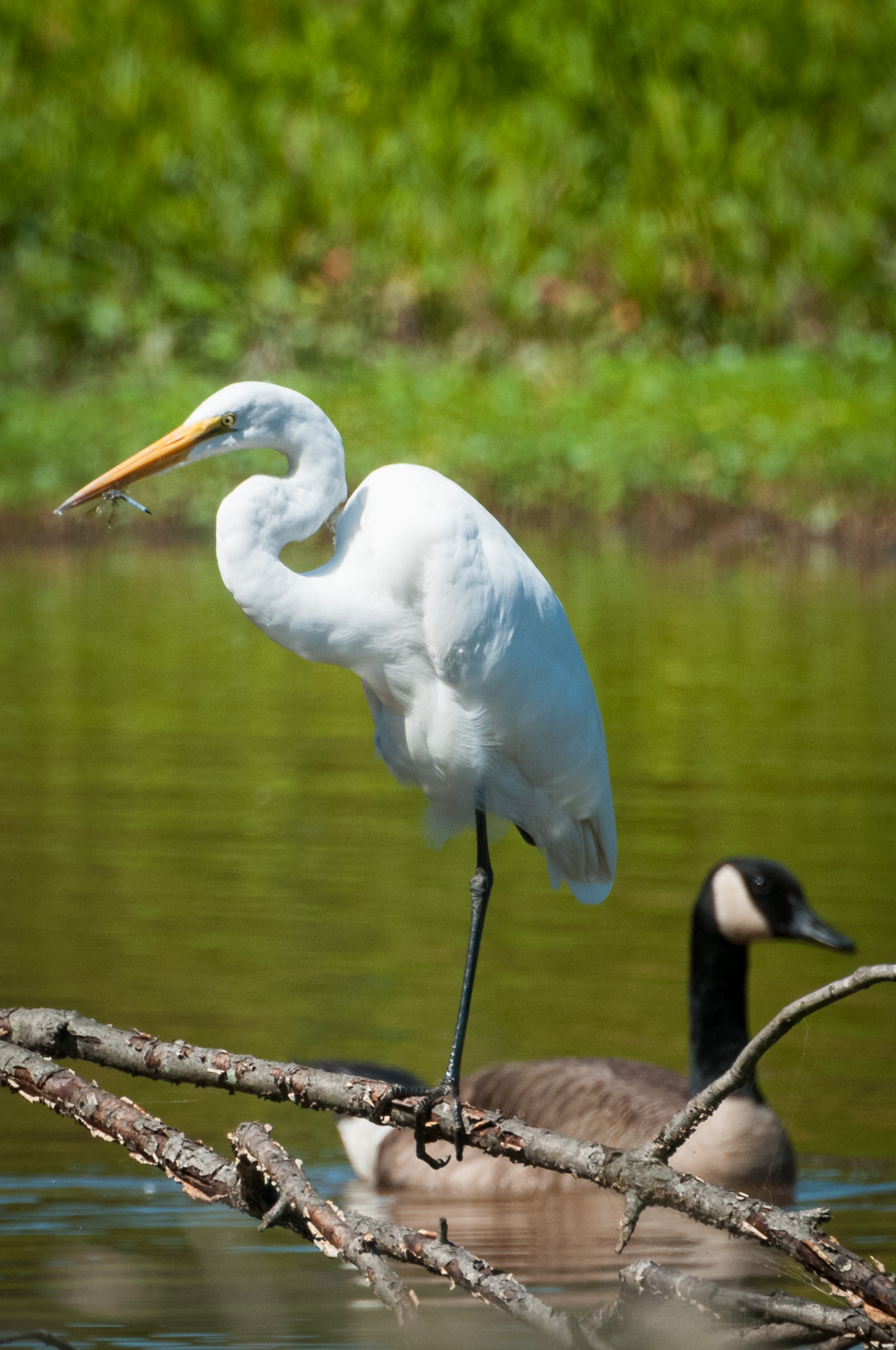 Great Egret eating a dragonfly