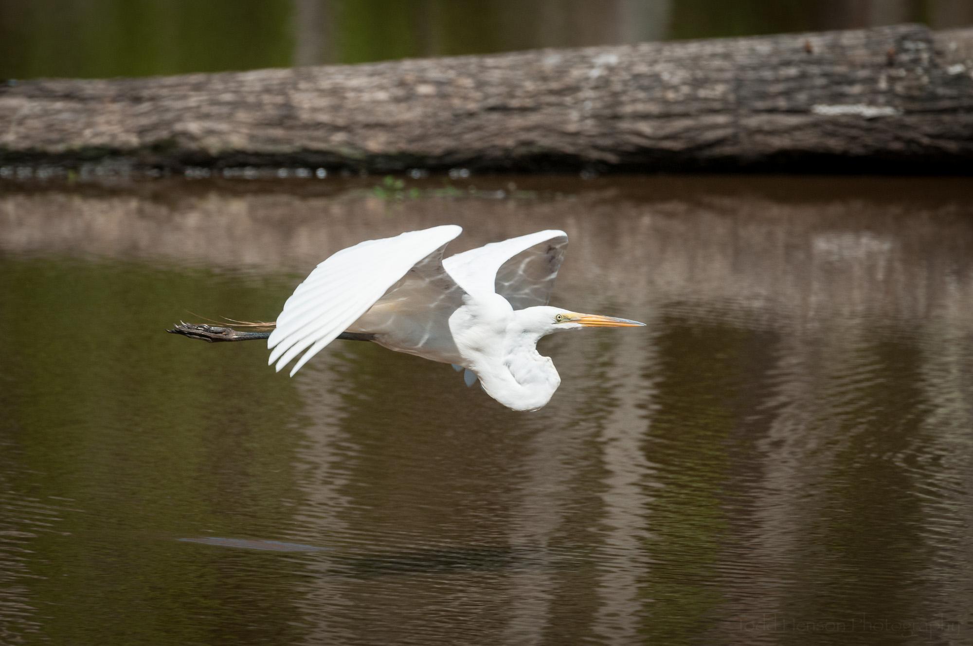 Great Egret flying low over wetlands pond