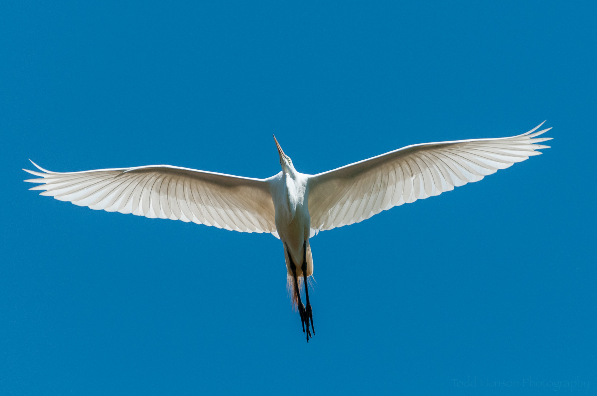 Great Egret flying almost directly overhead against clear blue sky
