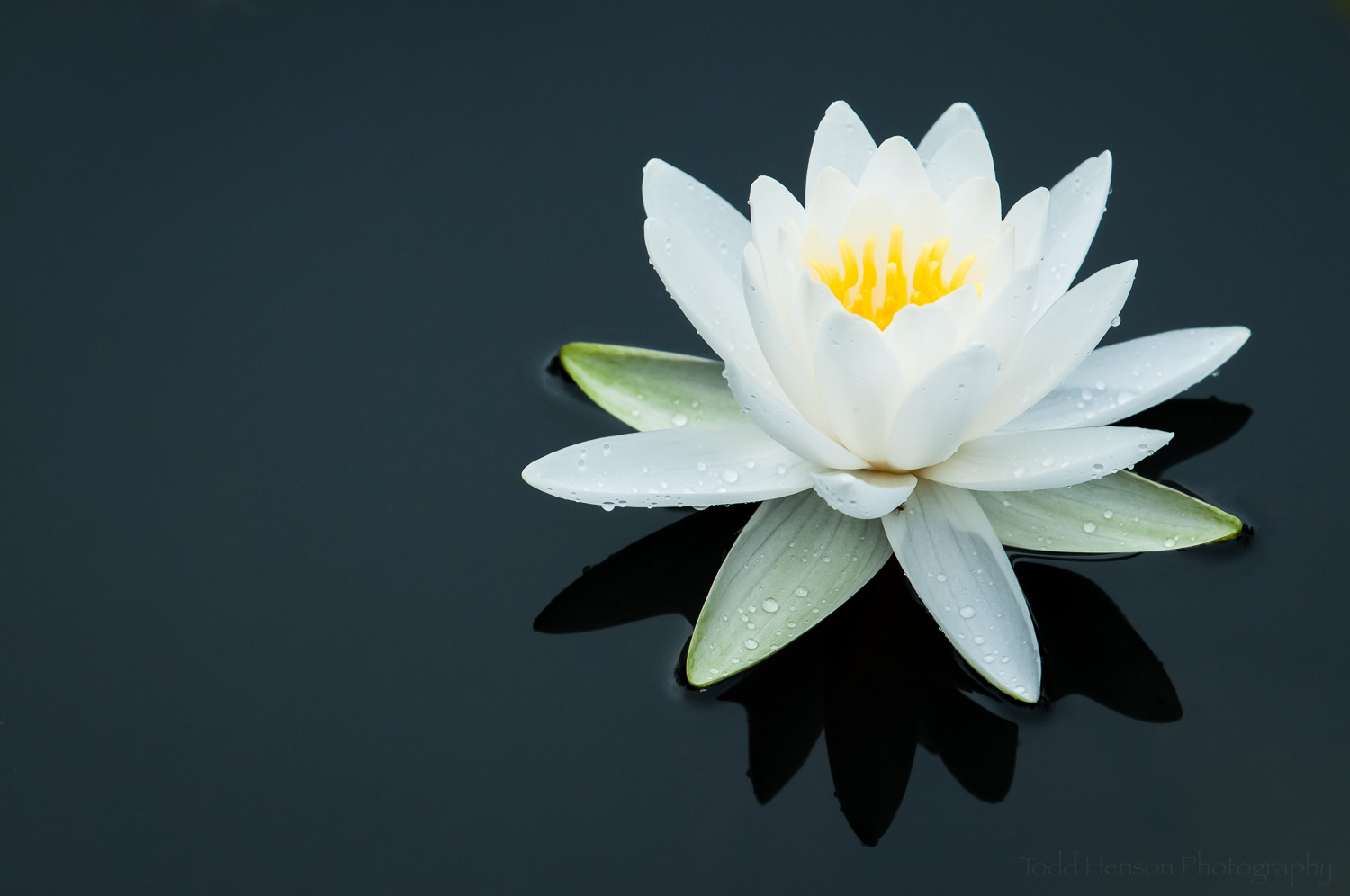White Water Lily in dark pond