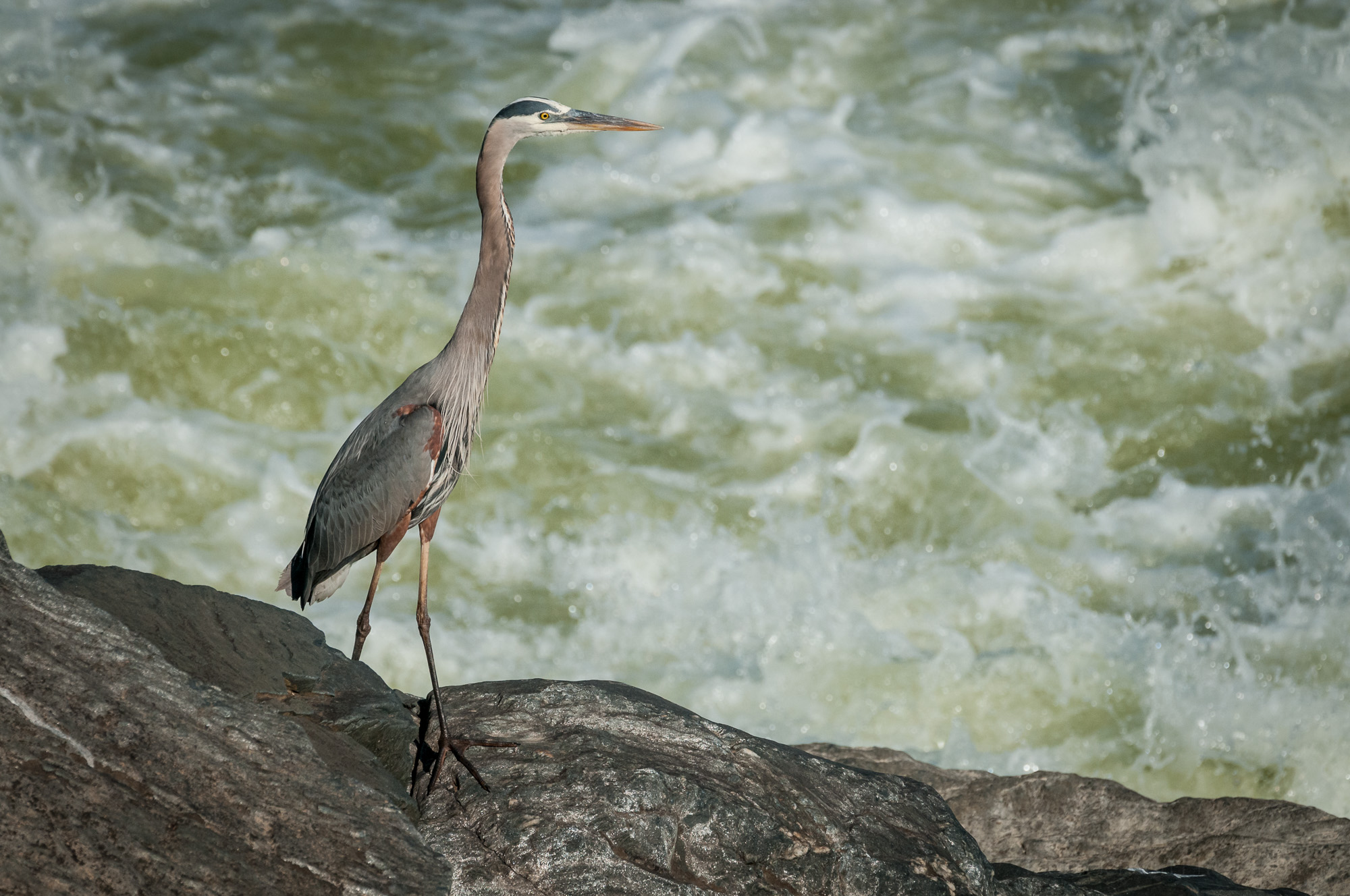 Great Blue Heron Above Falls in Chesapeake & Ohio Canal National Historical Park