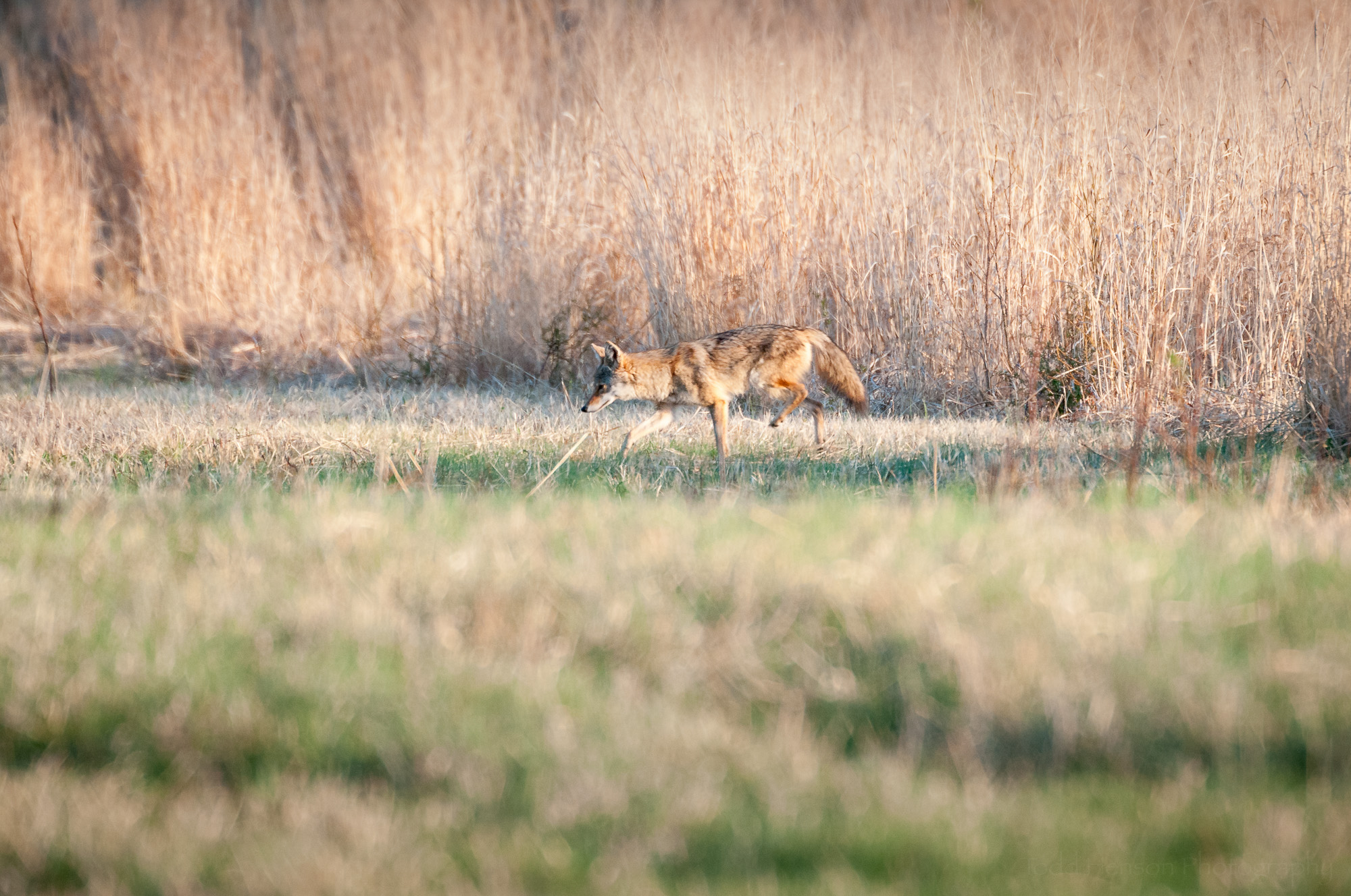 Coyote limping, notice the reddish patch on its rear leg