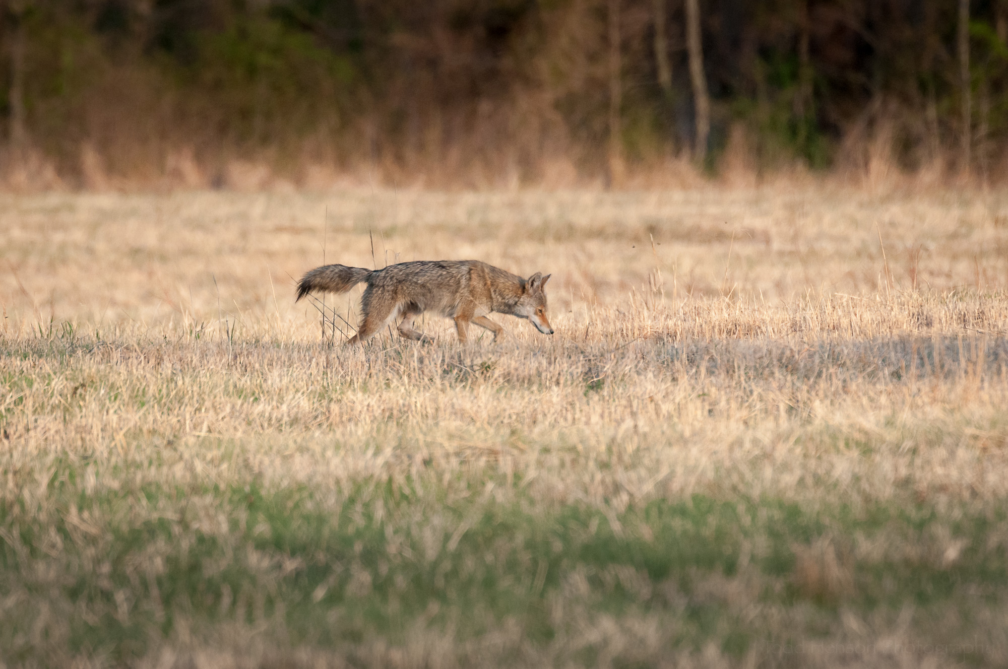 Coyote walking parallel to me, tail straight out